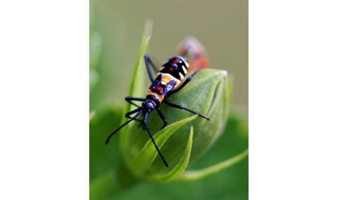Insekt på bomullsplante. (Foto: teejaybee, flickr.com