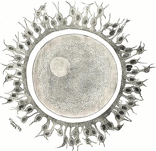 En menneskelig eggcelle (Illustrasjon: Wikipedia)