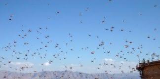 Gresshoppesverm nær Eilat i 2004 (Illustrasjon: Niv Singer, flickr.com)