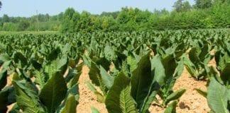 Tobakksplanter (Illustrasjon: David Hoffman, flickr.com)