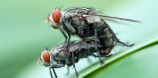 Et israelsk selskap gir fluer radioaktiv behandling slik at de blir sterile. Dermed kan bestanden av skadelige fluer blir redusert. (Illustrasjonsfoto: Rushen, flickr)