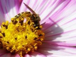 En bie henter nektar fra en blomst (Foto: Daniela/Flickr)