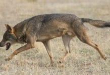 Det har i løpet av få måneder vært rapportert om flere ulveangrep i Israel. (Foto: Wikipedia)