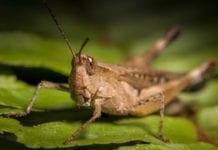En sverm av gresshopper er på vandring. Myndighetene frykter de kan ende opp i Israel. (Foto: Sergio Boscaino)