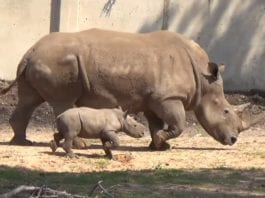 Den nyfødte sammen med morgen, neshornet Rihanna. (Foto: Ramat Gan Safari Park)